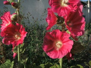 Hollyhocks in Bloom